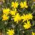 euryps pectinatus - La jardinerie de pessicart nice - Livraison a domicile nice 06 plantes vertes terres terreaux jardinage arbres cactus