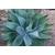 agave attenuata agave sans epines- Photo credit cultivar413 on Visualhunt - La jardinerie de pessicart nice - Livraison a domicile nice 06 plantes vertes terres terreaux jardinage arbres cactus