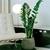 Zamioculcsa samiifolia zzplant - Photo credit artesaniaflorae on Visualhunt - La jardinerie de pessicart nice - Livraison a domicile nice 06 plantes vertes terres terreaux jardinage arbres cactus
