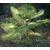 Livistonia - palmier - Photo credit cultivar413 on VisualhuntCo - La jardinerie de pessicart nice - Livraison a domicile nice 06 plantes vertes terres terreaux jardinage arbres cactus