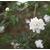 rosier de banks - rosa banksiae - Photo credit mmmavocado on Visualhunt - La jardinerie de pessicart nice - Livraison a domicile nice 06 plantes vertes terres terreaux jardinage arbres cactus