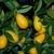 limequat 4 - Photo credit douneika on VisualHunt - La jardinerie de pessicart nice - Livraison a domicile nice 06 plantes vertes terres terreaux jardinage arbres cactus