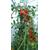 tomates plants Photo credit zentolos on Visualhunt.com - La jardinerie de pessicart nice - Livraison a domicile nice 06 plantes vertes terres terreaux jardinage arbres cactus