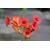 bignone campsis Photo credit digitearte on VisualHunt - La jardinerie de pessicart nice - Livraison a domicile nice 06 plantes vertes terres terreaux jardinage arbres cactus