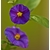 solanum rantonetii - Photo credit pstenzel71 on Visualhunt - La jardinerie de pessicart nice - Livraison a domicile nice 06 plantes vertes terres terreaux jardinage arbres cactus