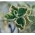 plectranthus - Photo credit Kumaravel on VisualHunt- La jardinerie de pessicart nice - Livraison a domicile nice 06 plantes vertes terres terreaux jardinage arbres cactus