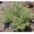 Romarin australien westringia - Photo credit cultivar413 on VisualHunt.com - La jardinerie de pessicart nice - Livraison a domicile nice 06 plantes vertes terres terreaux jardinage arbres cactus
