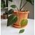 philodendron scandens micans-  Photo credit Dan Jones  Terrarium Tribe on Visualhunt -  La jardinerie de pessicart nice - Livraison a domicile nice 06 plantes vertes terres terreaux jardinage arbres cactus