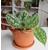philodendron pictus trebbie -  Photo credit Dan Jones  Terrarium Tribe on Visualhunt -  La jardinerie de pessicart nice - Livraison a domicile nice 06 plantes vertes terres terreaux jardinage arbres cactus