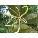 xylopia ethiopica