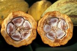 cacao-pod-1916418_960_720