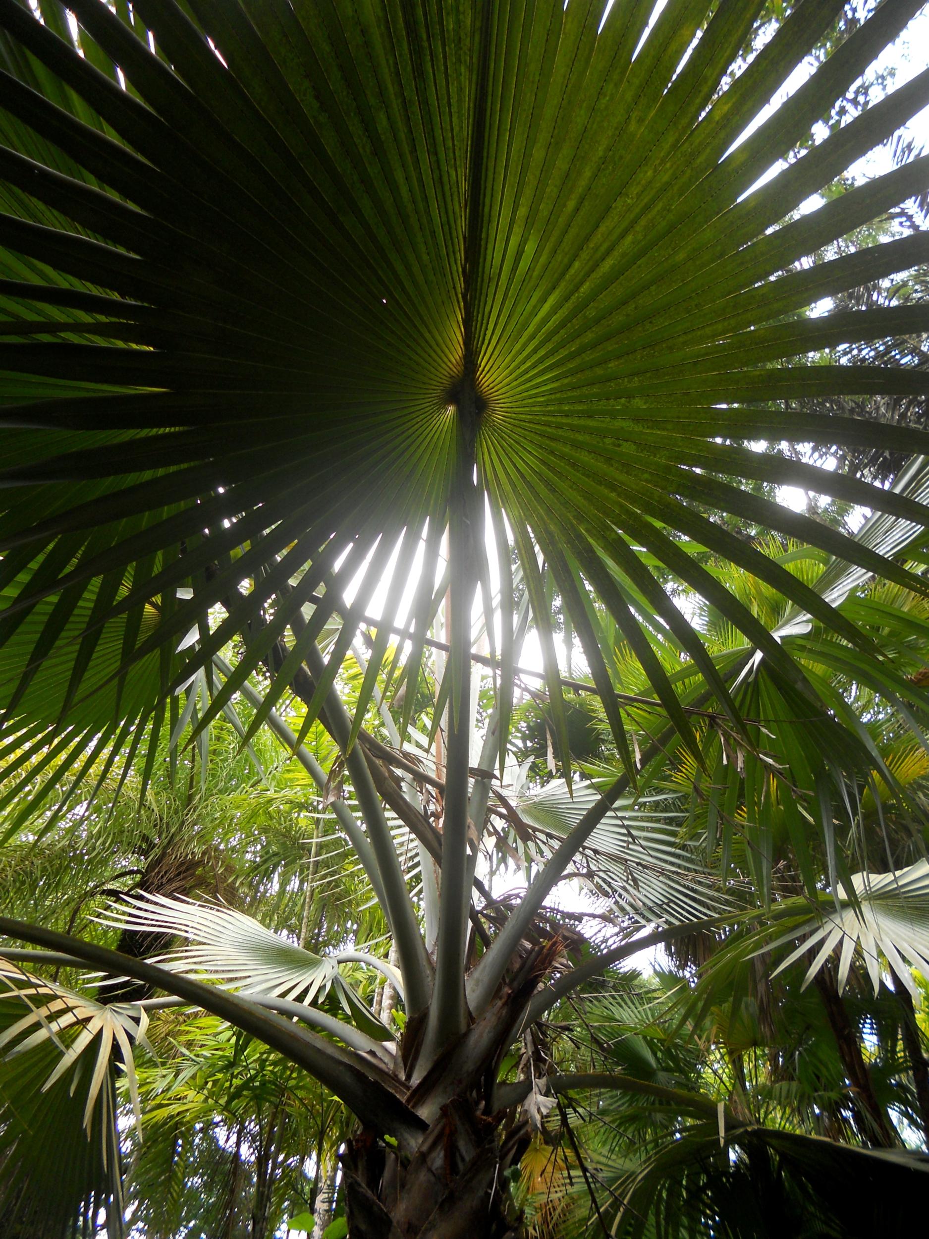 affiche reproduction arbre du voyageur  exotique martinique nature plante