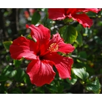 Hibiscus flowers_ how to grow and care for — Homes to Love