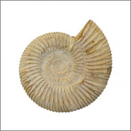 Fossiles Ammonites brutes blanches