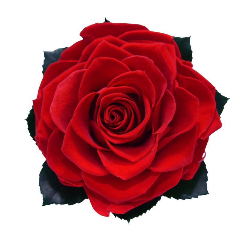 Rose éternelle rouge XXL