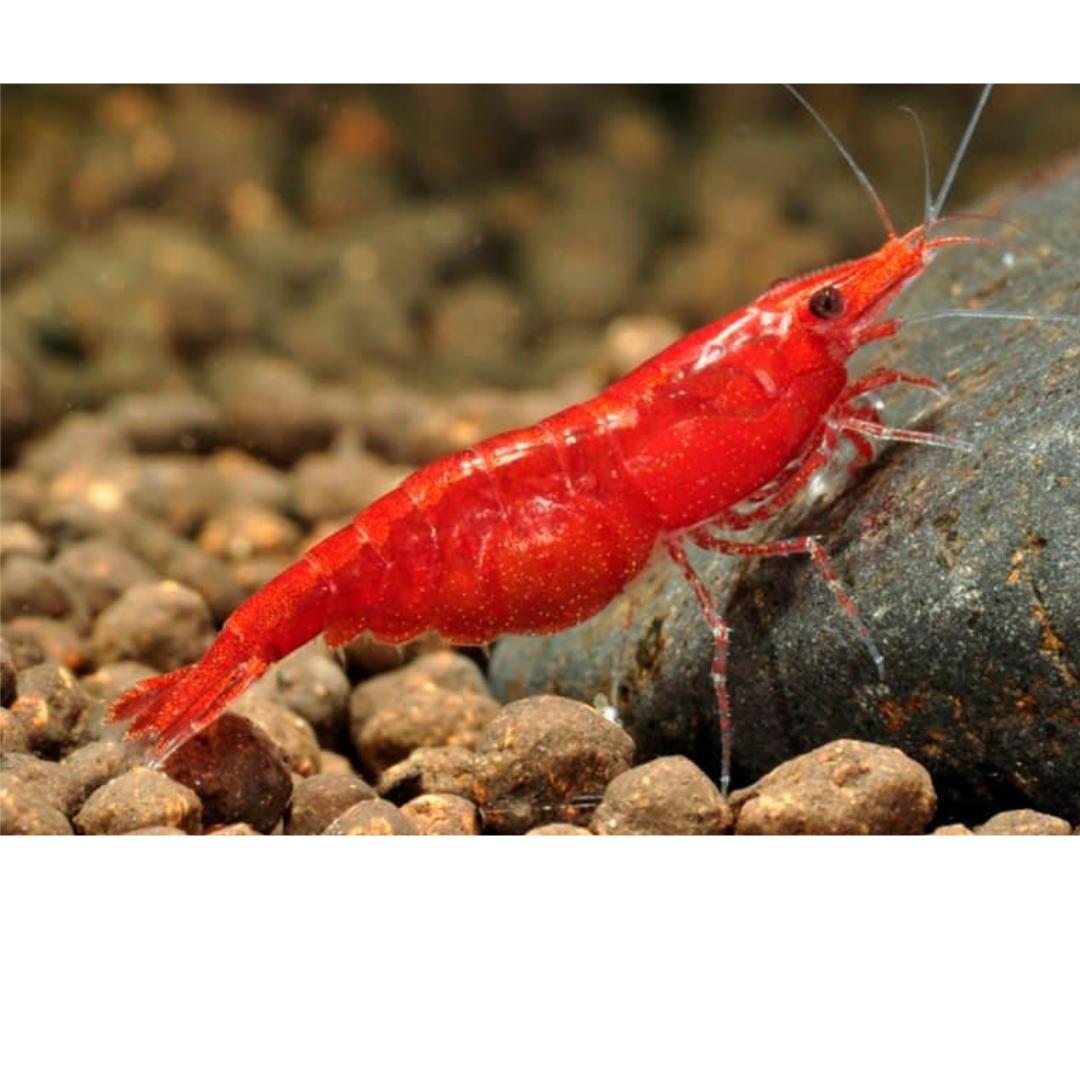 Neocaridina davidi var. Red fire
