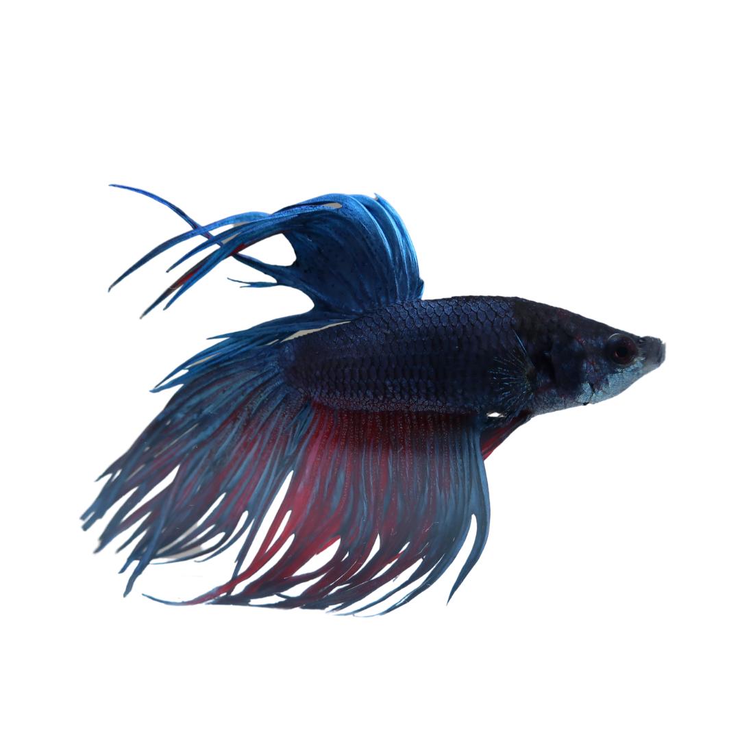 Betta splendens var. Crown Tail Multicolor ♂