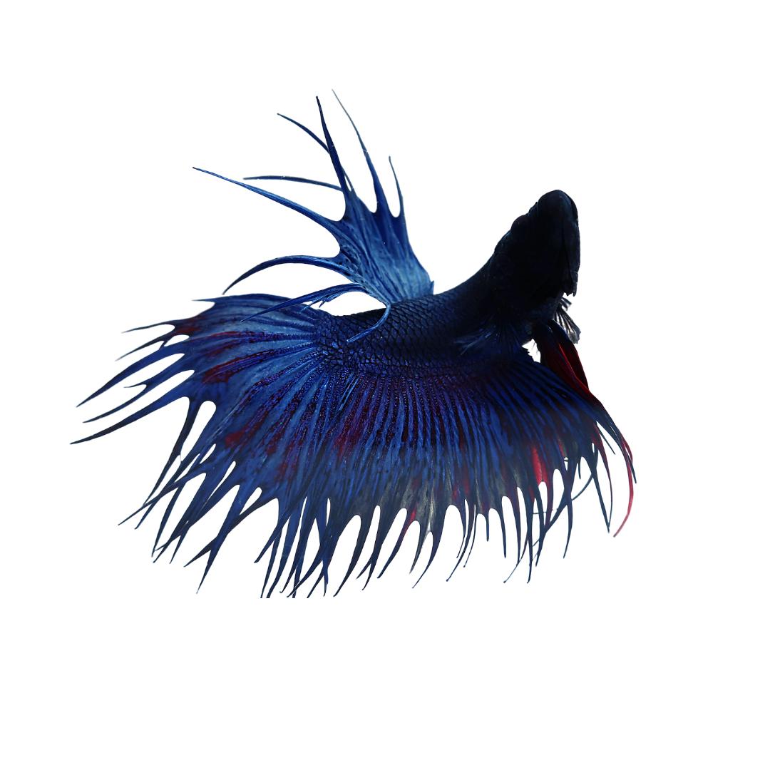 Betta splendens var. Crown Tail Blue ♂