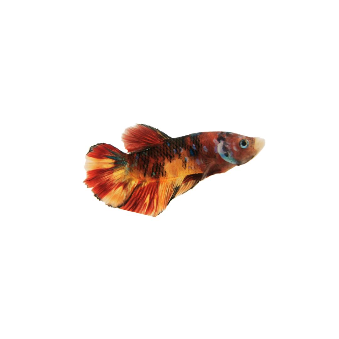 Betta splendens var. Plakat Nemo base Yellow ♂