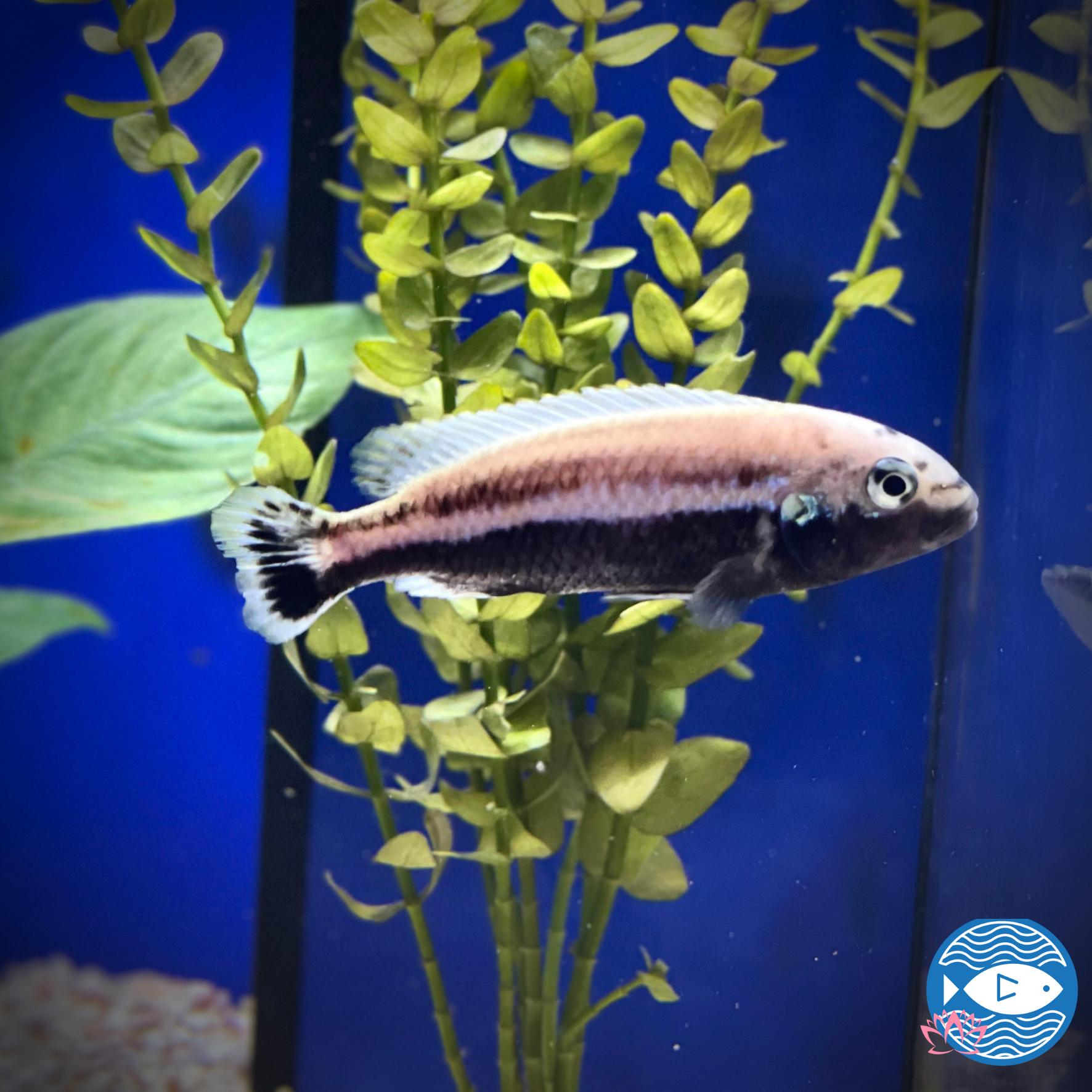 Melanochromis auratus - Cichlidé turquoise doré - 8cm