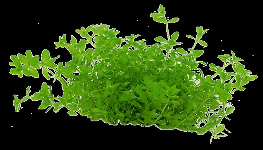 Hemianthus micranthemoides in vitro