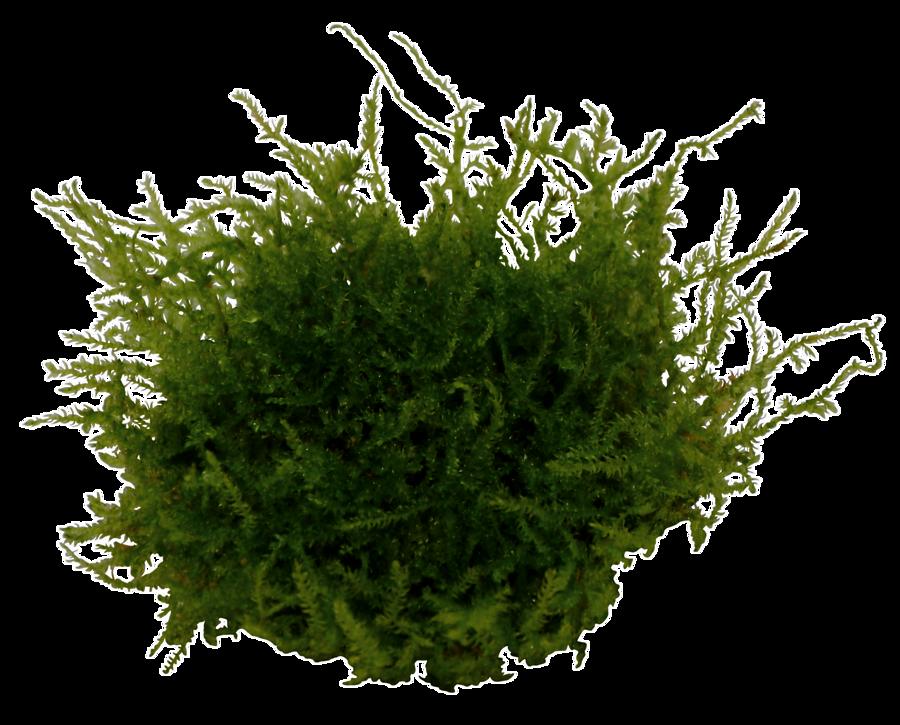 Vesicularia montagnei - in vitro
