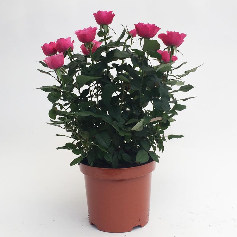 I-Grande-4316-rosa-hyb-d19-horticole-mix.net