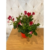 DIPLADENIA ROUGE Taille M