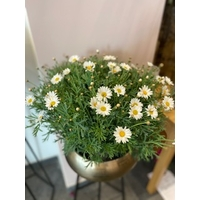 ANTHEMIS TAILLE L