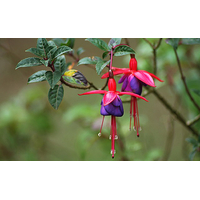 FUSCHIA ROUGE
