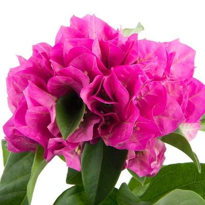 I-Grande-16339-bougainvillea-glabra-vera-d09p-x12-vera-deep-purple.net