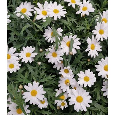anthemis-blanc