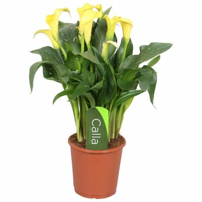 zantedeschia-calla-sunclub-jaune-5-fleurs