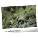 photo-tortue-cistude