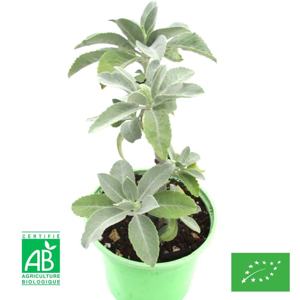 Graines de Sauge blanche Française Bio (Salvia Apiana)