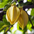 essential-oil-ylang-ylang-NYLY