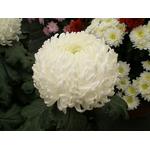 chrys-GF-blanc