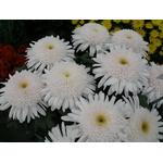 chrys-GF-blanc2