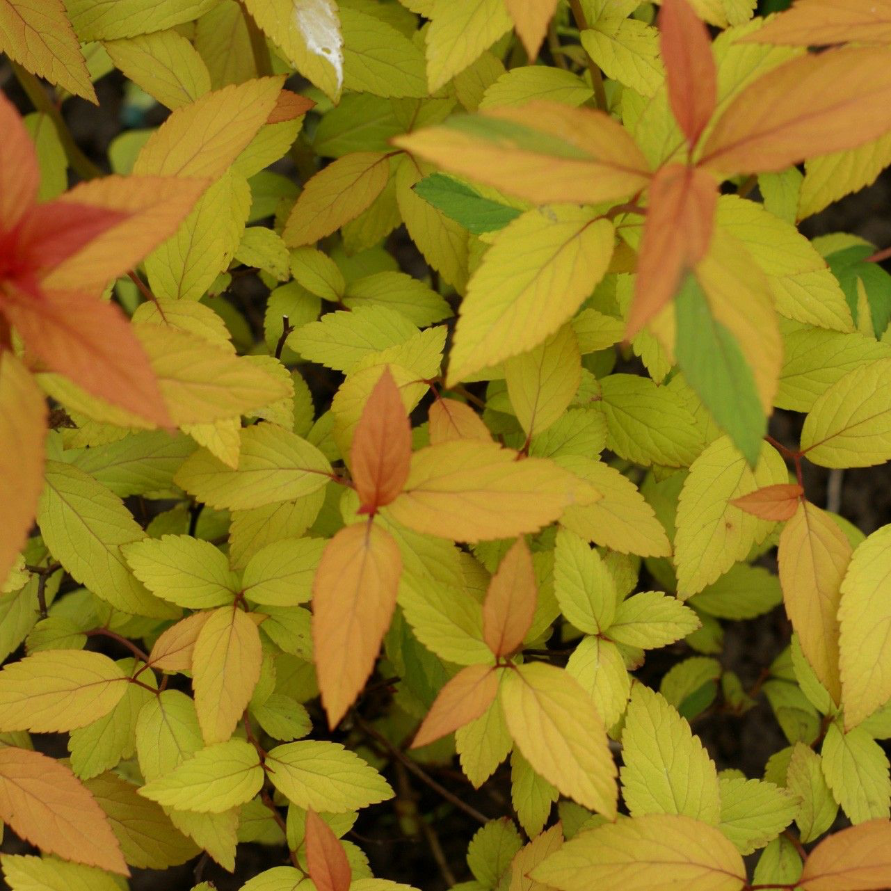 Spirea japonica magic carpet