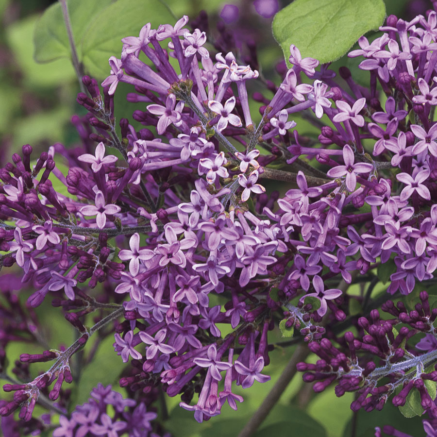 Syringa bloomerang dark purple
