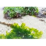 algue-laitue-de-mer