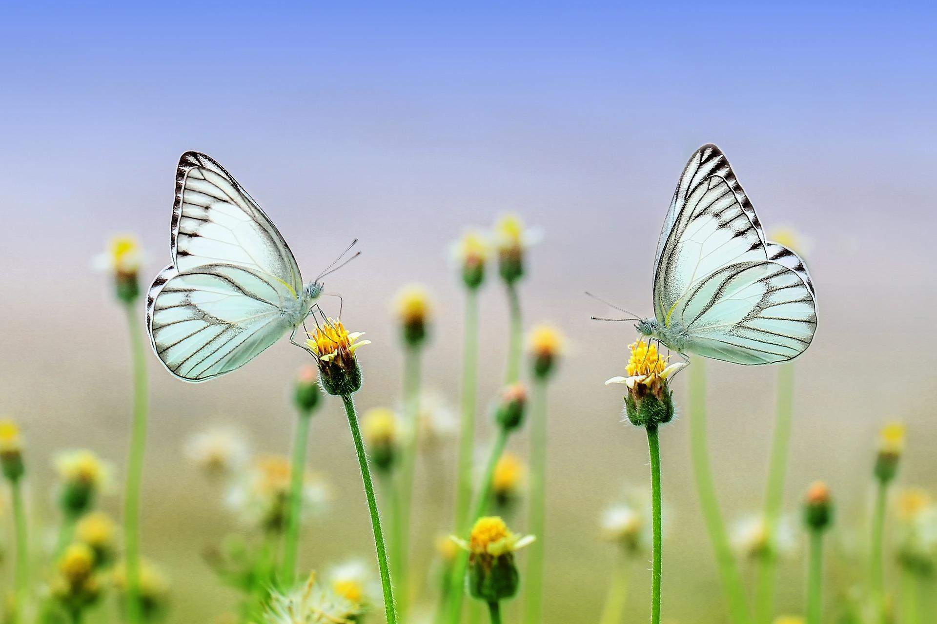 Infusion envol de papillon