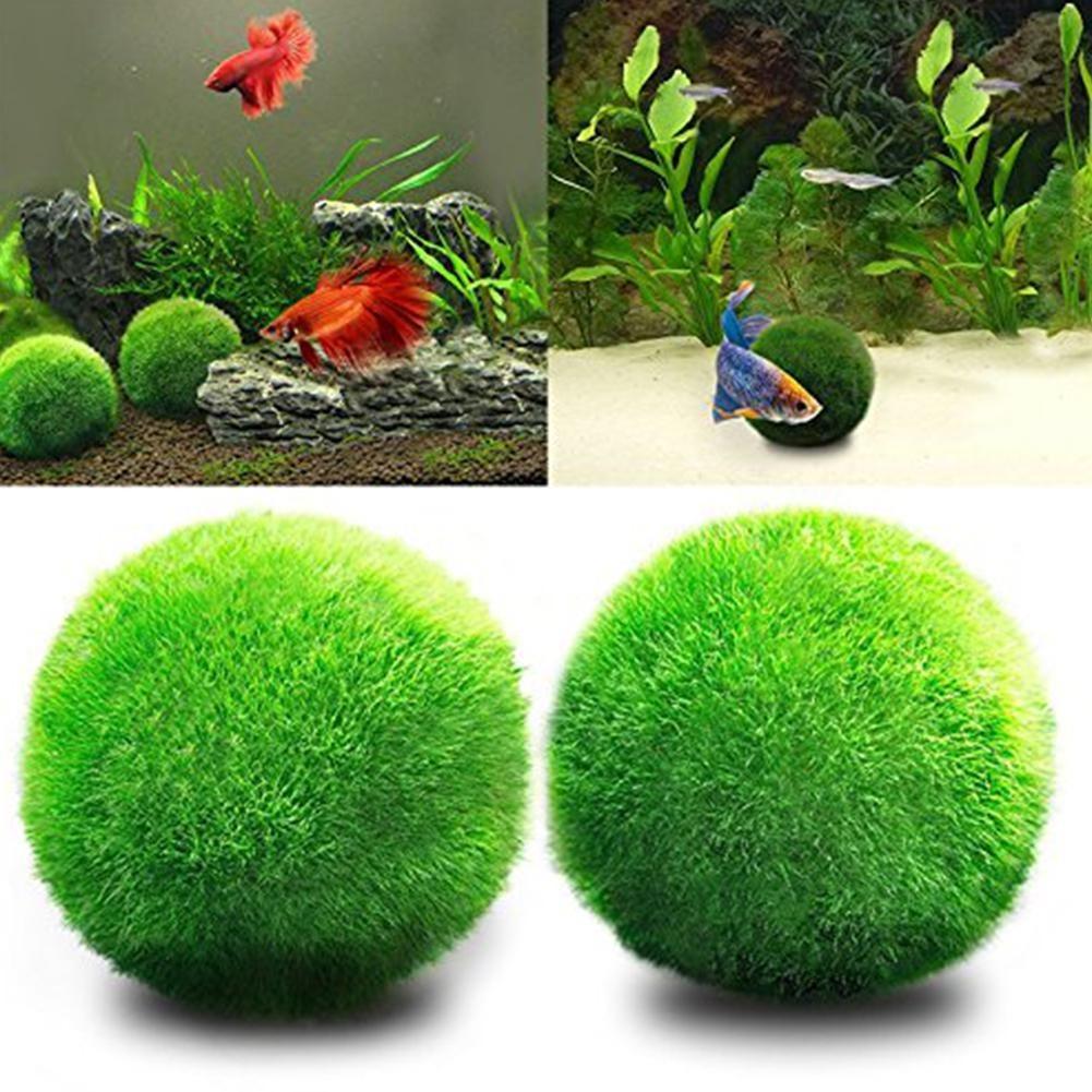 Boule d\'algues Cladophora