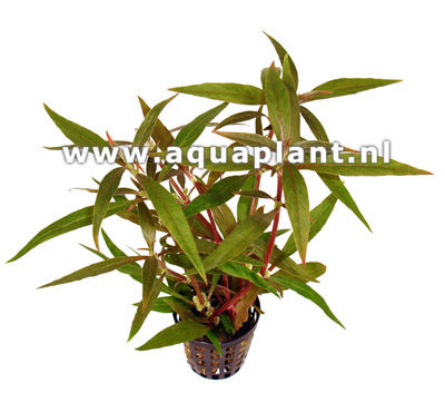 Alternanthera reneckei plante d\'aquarium en bouquet