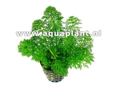 Limnophila sessiliflora ambulia