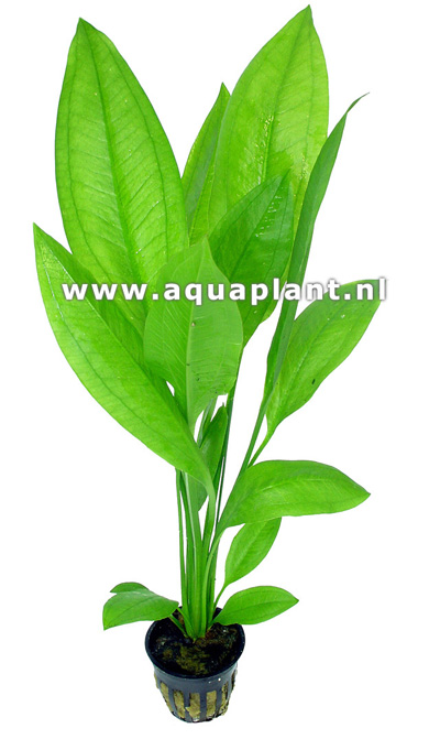 Echinodorus bleheri plante d 39 aquarium en pot de diam tre 5 for Boutique aquariophilie