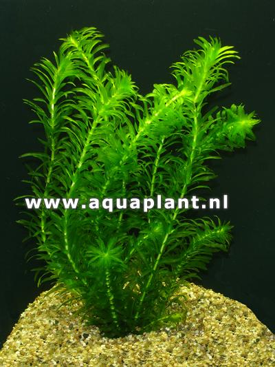 Elodea densa plante d 39 aquarium et bassin en bouquet for Aquarium en ligne