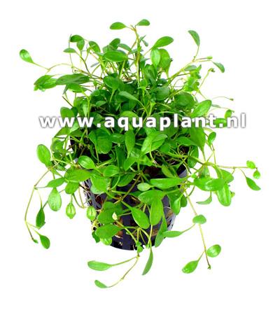Glossostigma elatinoides plante d\'aquarium en pot de diamètre 5 cm