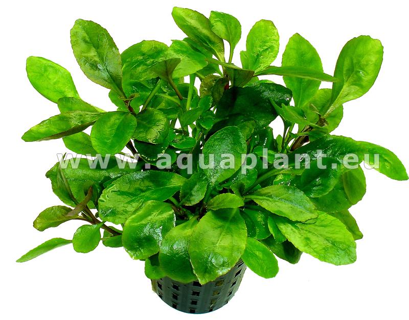 lobelia cardinalis mini plante d 39 aquarium en pot de diam tre 5 cm plantes d 39 aquarium plantes. Black Bedroom Furniture Sets. Home Design Ideas