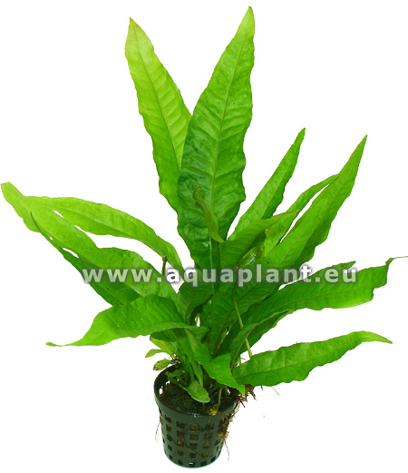 Microsorum pteropus plante d 39 aquarium en pot de diam tre 5 for Boutique aquariophilie